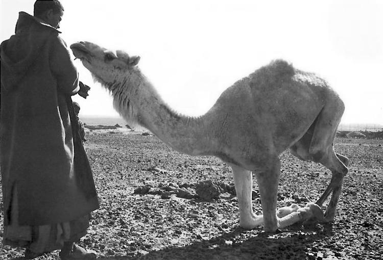 02-08a.- El dromedario no pide perdón, está anillado. Foto: Felipe Galán. Zona de Smara, 1974-1975