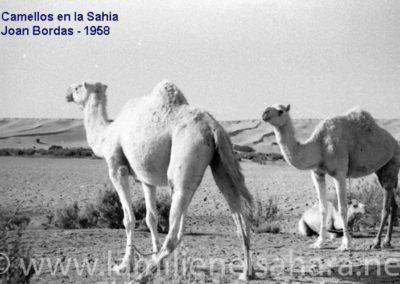 117.- El Aaiún, Camellos en la Sahia.
